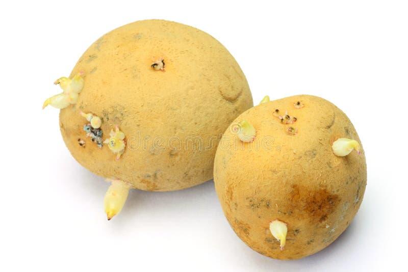 Download Aardappel Dat Een Knop Verscheen Stock Afbeelding - Afbeelding bestaande uit vergift, doorweekt: 29501437