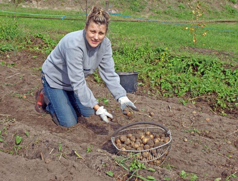 Aardappel die 2 oogst royalty-vrije stock afbeelding