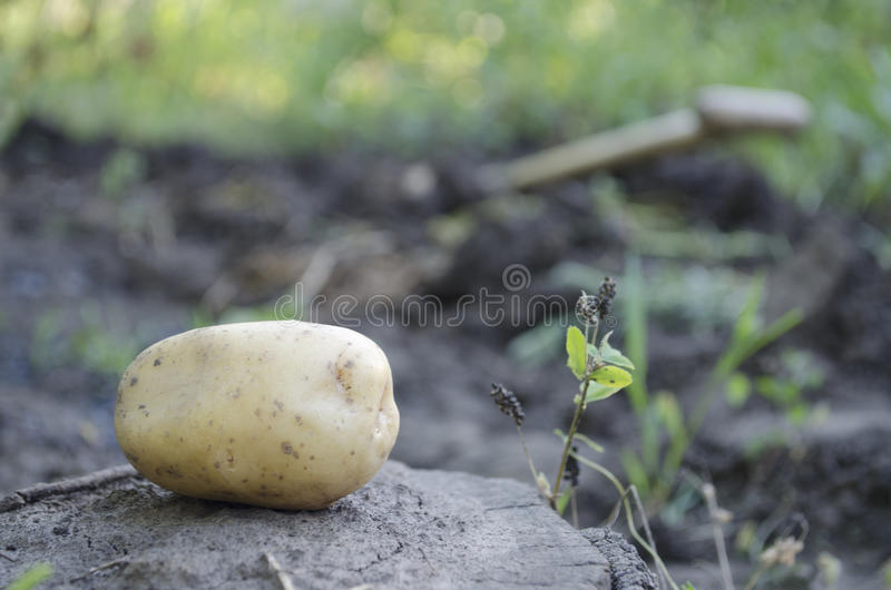 Aardappel gegroeid door me stock foto