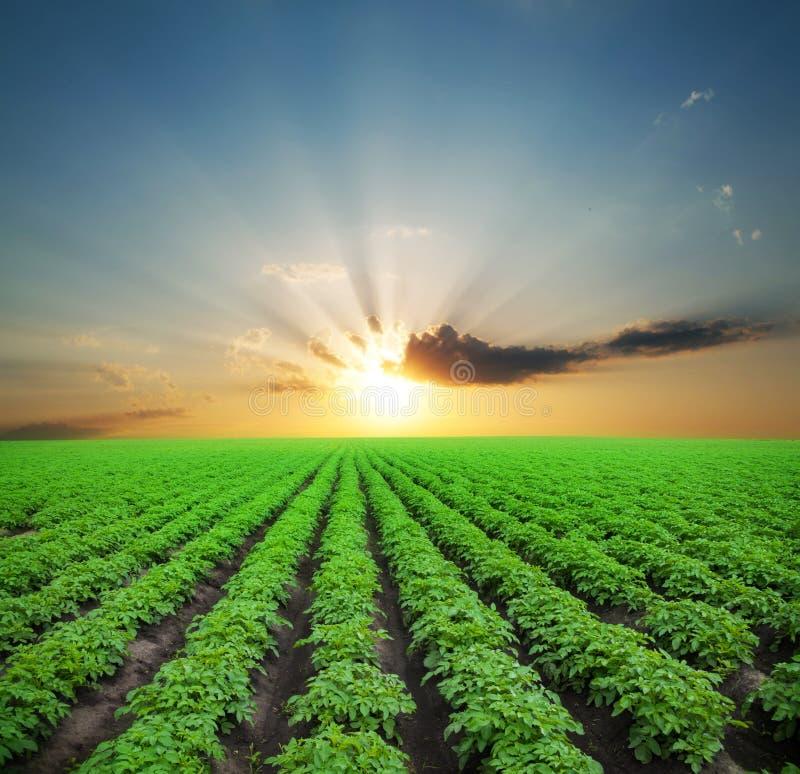 Aardappel groen gebied royalty-vrije stock foto's