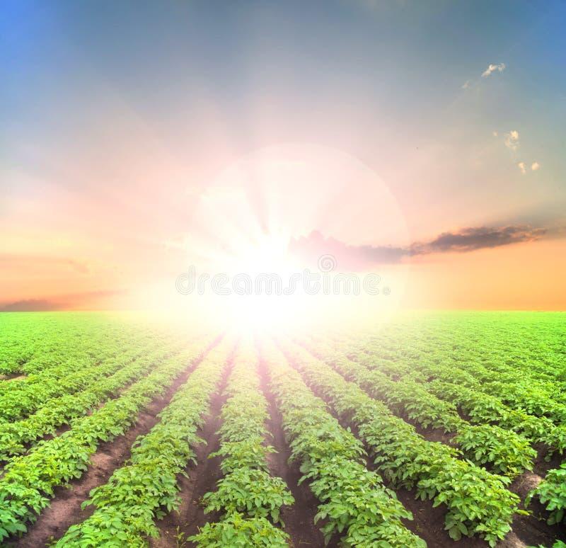 Aardappel groen gebied stock foto