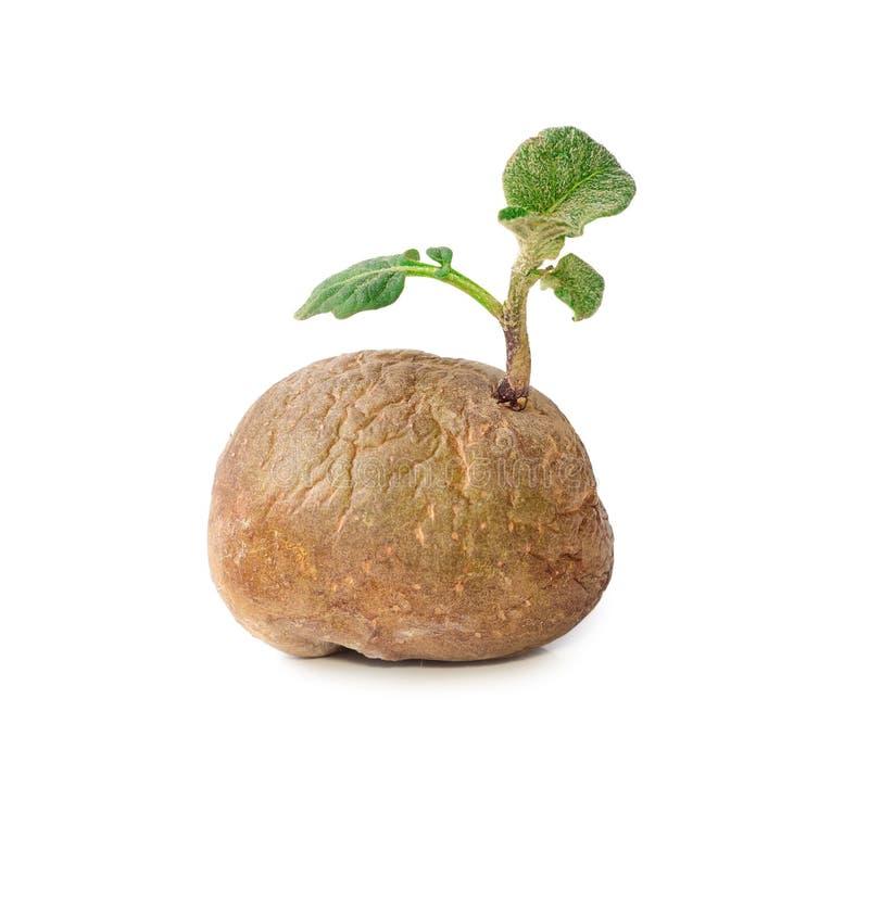 Aardappel met geïsoleerde spruiten en bladeren stock afbeeldingen