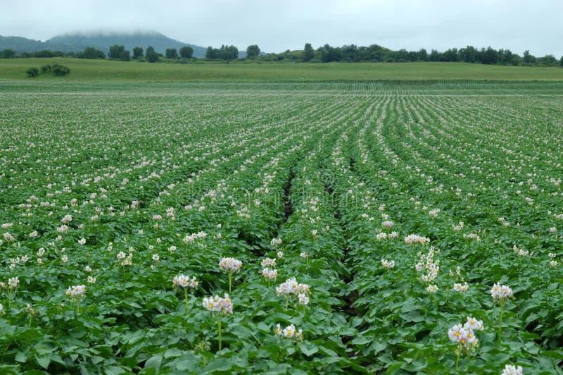 Aardappelbloem stock foto