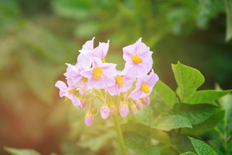Aardappelbloem met lensgloed is gebarsten op vlotte groene tuinachtergrond die stock afbeeldingen