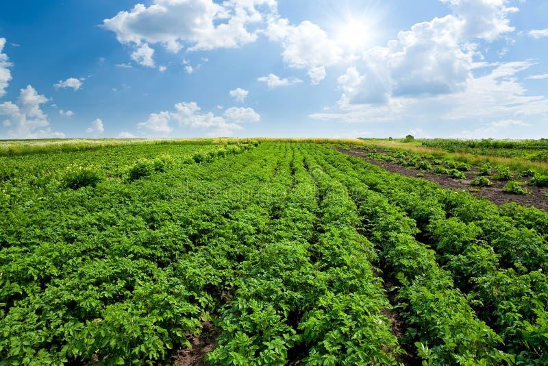 Aardappelgebied stock foto's