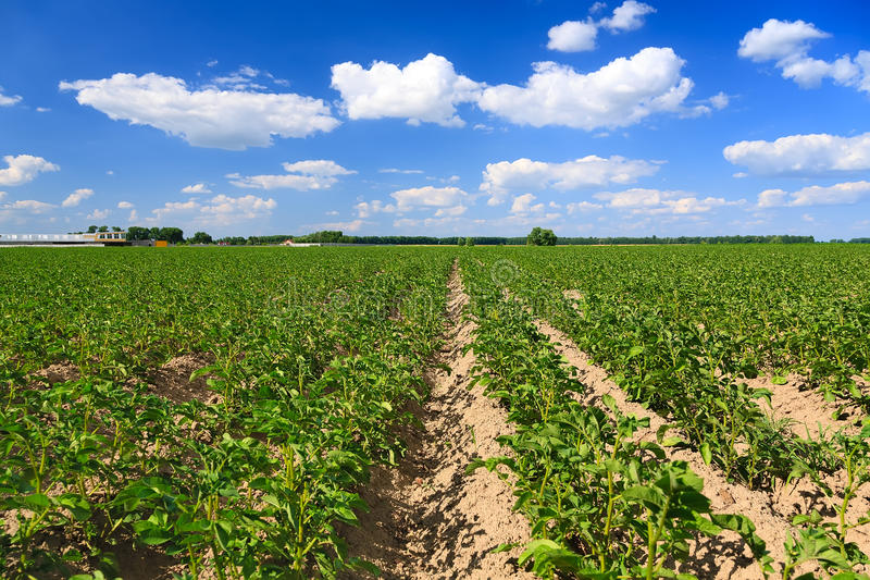 Aardappelgebied stock fotografie