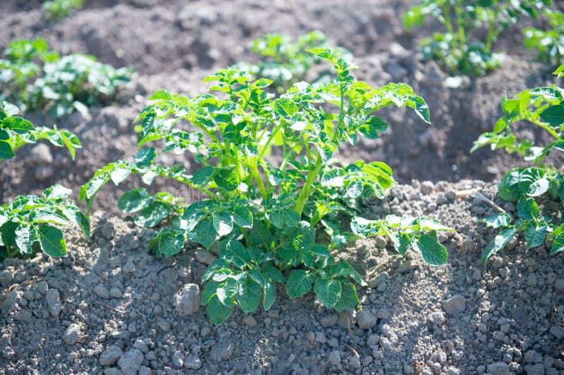 Aardappelgebied met groene spruiten van aardappels stock afbeelding