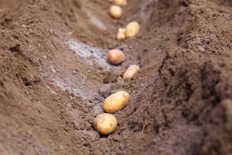 Aardappelknollen die in de grond planten royalty-vrije stock afbeelding