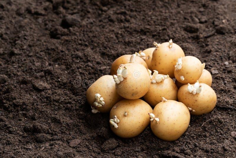 Aardappelknollen op grond Klaar te planten royalty-vrije stock foto's