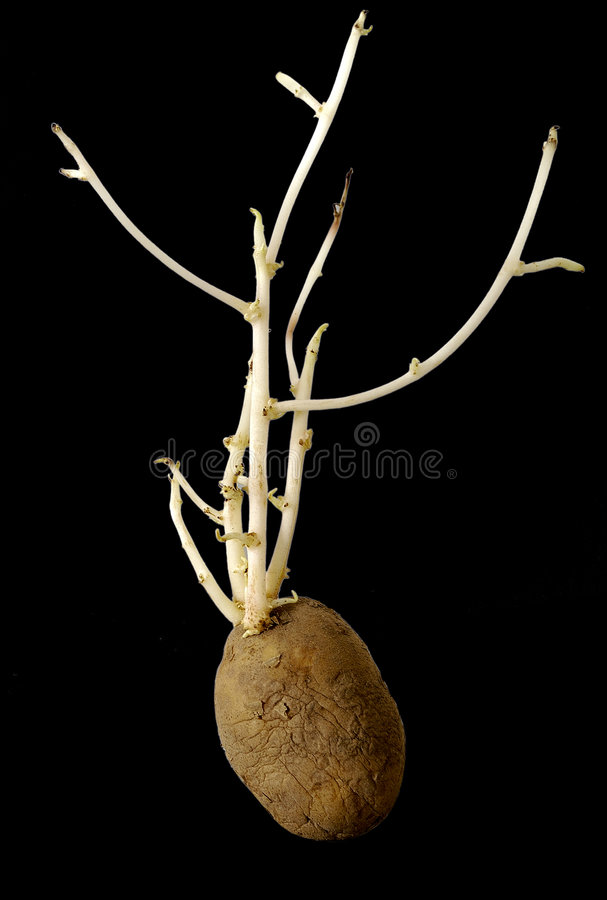 aardappelplant stock afbeelding