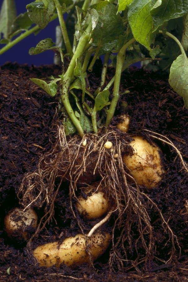 Aardappelplant stock foto's