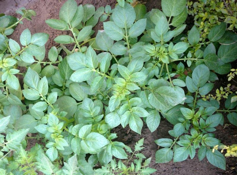 Aardappelplant stock foto
