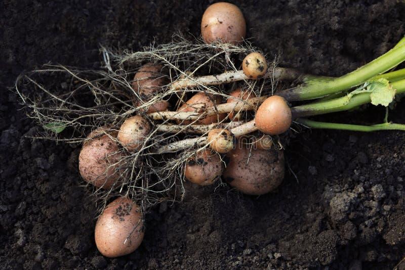 Aardappelplant met knollen op grond stock fotografie