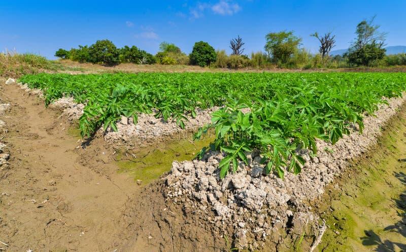 Aardappelplant op gebied stock foto's