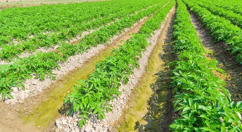 Aardappelplant op gebied royalty-vrije stock afbeeldingen