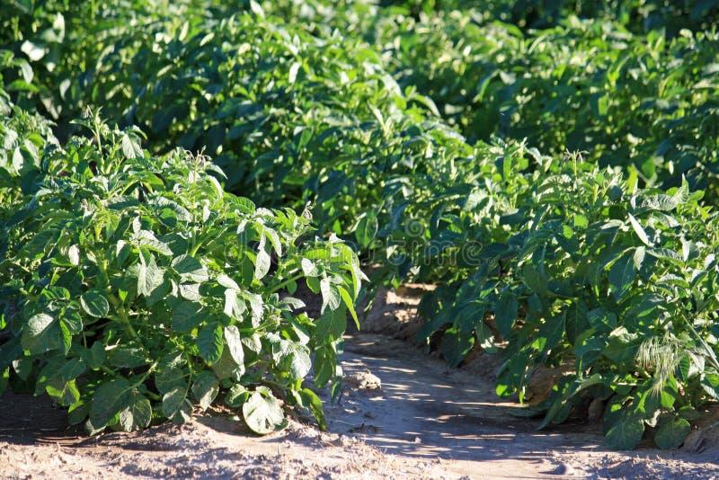 Aardappelplanten stock afbeelding
