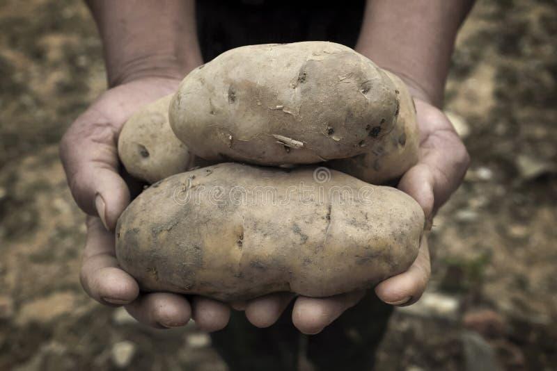 Aardappels in handen royalty-vrije stock foto