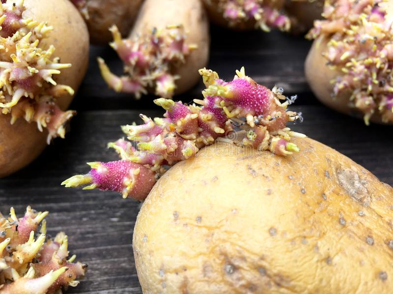 Aardappels met spruiten stock fotografie