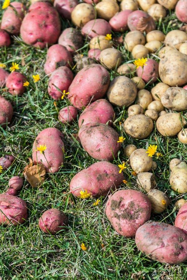 Aardappels van verschillende verscheidenheden ter plaatse royalty-vrije stock afbeeldingen