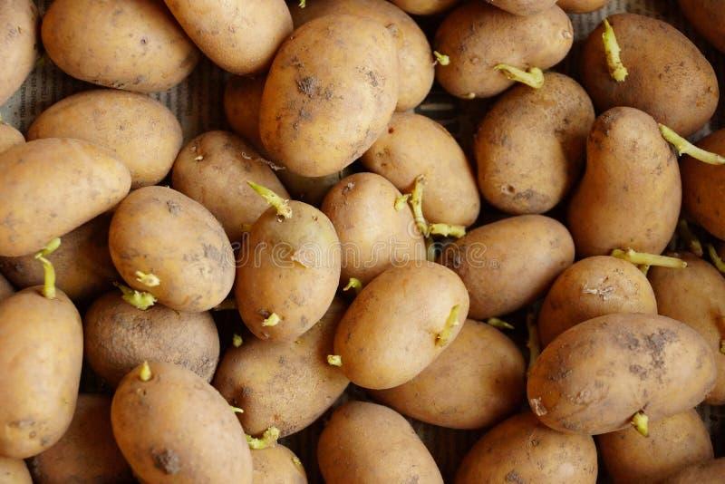 Aardappelspruiten voor ontkiemd planten stock afbeelding