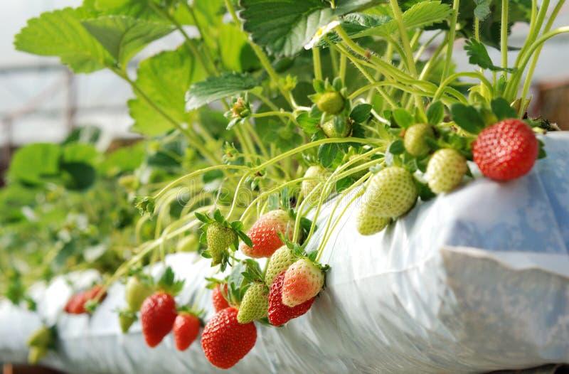 Aardbei in organisch landbouwbedrijf stock afbeeldingen