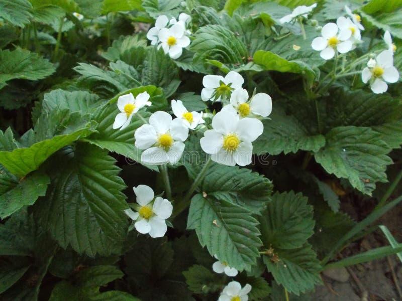 Aardbeibloemen stock foto's