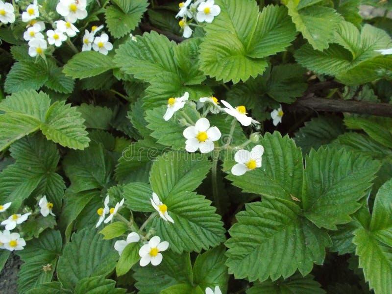 Aardbeibloemen royalty-vrije stock fotografie