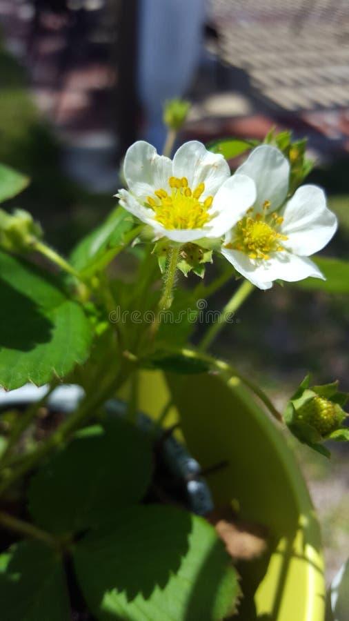 Aardbeibloemen stock fotografie