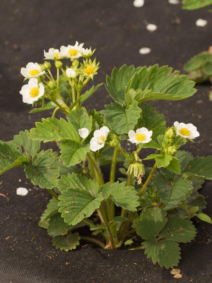 Aardbeibloesems in de lente stock fotografie