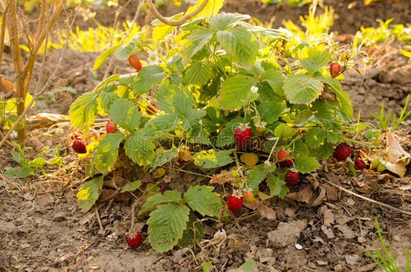 Aardbeien in de tuin stock afbeeldingen