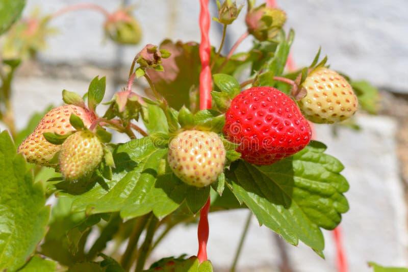 Aardbeien die in zonneschijn rijpen royalty-vrije stock foto's