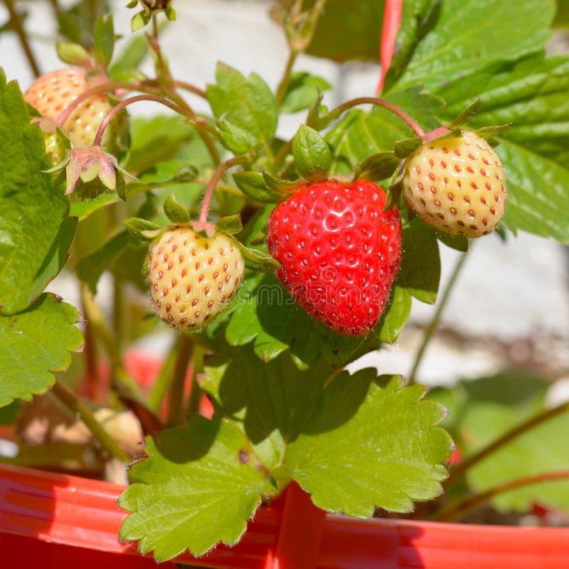 Aardbeien die in zonneschijn rijpen stock afbeeldingen