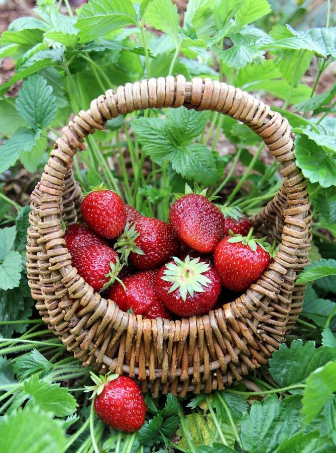 Aardbeien in een mand stock fotografie