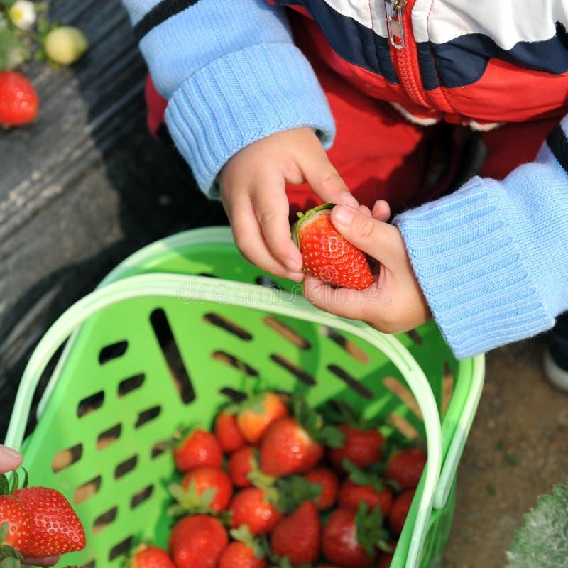 Aardbeien in handen royalty-vrije stock afbeelding