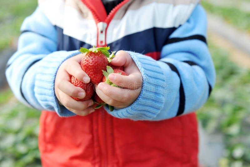 Aardbeien in handen royalty-vrije stock afbeeldingen