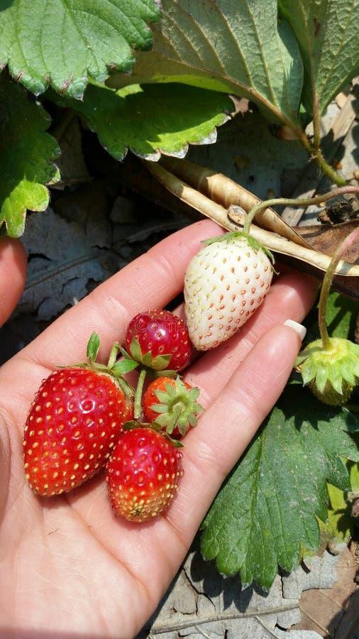 Aardbeien op hand stock foto