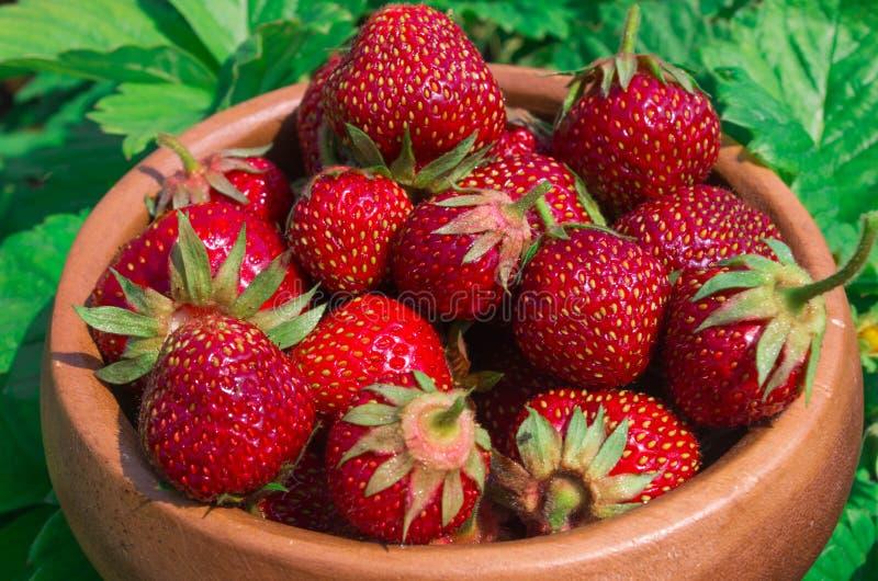 Aardbeien op wit Rijpe Aardbei in de Fruittuin, Oud W stock afbeeldingen