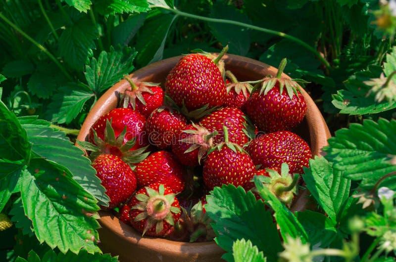 Aardbeien op wit Rijpe Aardbei in de Fruittuin, Oud W royalty-vrije stock afbeelding