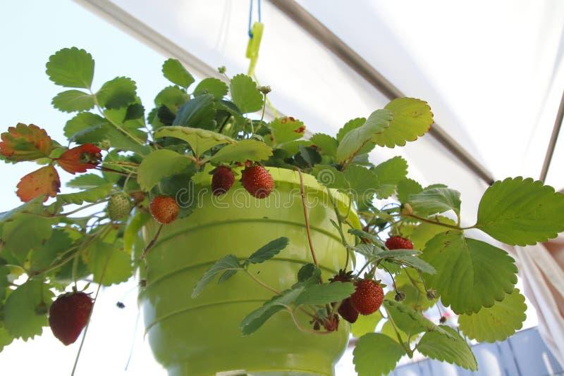 Aardbeifruit, rood en firma, van het hangen van mand vers wordt geoogst die stock afbeelding