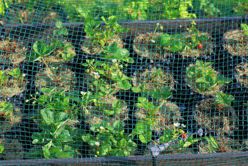 Aardbeiinstallaties in plastic potten met het water geven van systeem onder netto dekking Gezond voedselconcept royalty-vrije stock foto