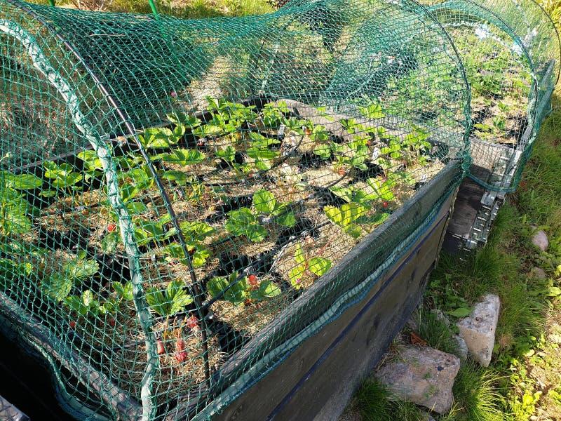 Aardbeiinstallaties in plastic potten met het water geven van systeem onder netto dekking Gezond voedselconcept stock foto's