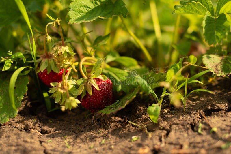 Aardbeistruik in de groei bij tuin Levendige kleuren Rijp bessen en gebladerte Fruitproductie Slimme landbouw, landbouwbedrijf stock fotografie