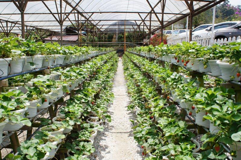 Aardbeivruchten in het aardbeilandbouwbedrijf Geplant gebruik een plank met meerdere verdiepingen om plaats te besparen royalty-vrije stock fotografie