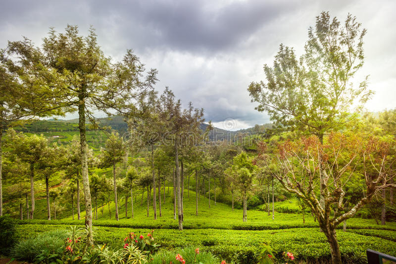 Aardbomen en heuvels Cameron Highlands Sri Lanka stock afbeeldingen