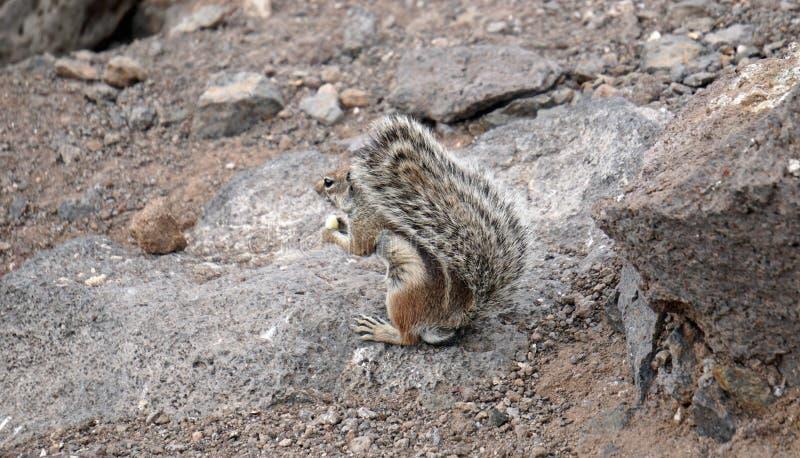 Aardeekhoorn met een pluizige staart Gevarieerd bont van een klein dier royalty-vrije stock afbeelding