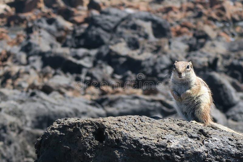 Aardeekhoornzitting op een rots stock fotografie