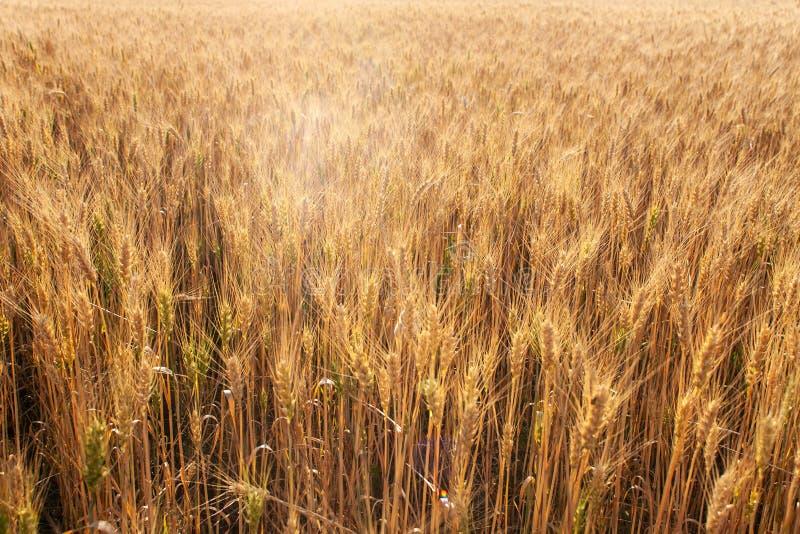 Aardlandschap landelijk op de zonsondergang Aartjes van gouden tarwe op gebied stock afbeelding