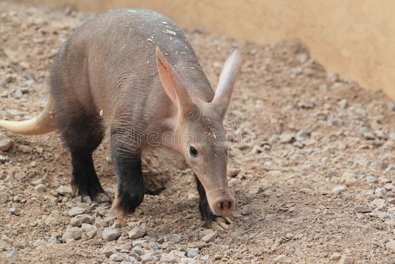 Aardvark στοκ φωτογραφία με δικαίωμα ελεύθερης χρήσης