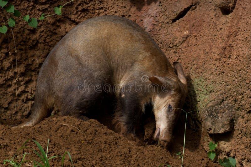 Aardvark Digging. An aardvark digging for breakfast. Text space right, below royalty free stock photos