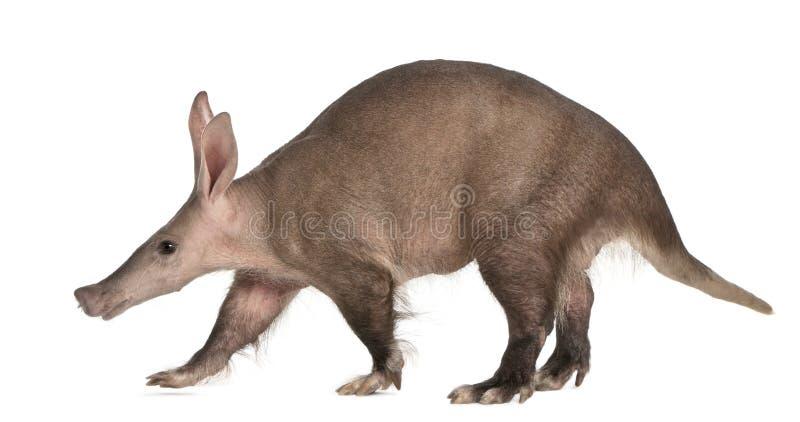 Aardvark, Orycteropus, 16 años, recorriendo imagenes de archivo